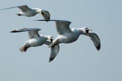 κραυγάζοντας seagulls Στοκ φωτογραφία με δικαίωμα ελεύθερης χρήσης