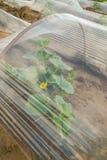Κρεβάτια καρπουζιών που καλύπτονται με το πλαστικό φύλλο αλουμινίου έτοιμο για τη φύτευση Στοκ Φωτογραφίες