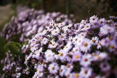 Κρεβάτι θερινών λουλουδιών με τις ανθίζοντας πορφυρές μαργαρίτες στοκ φωτογραφία