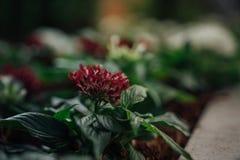 Κρεβάτι λουλουδιών με ένα σόλο κόκκινο λουλούδι στην εστίαση στοκ εικόνες