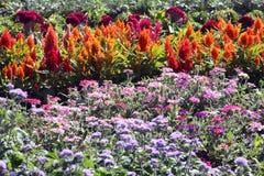Κρεβάτι λουλουδιών με τις ετήσιες εκδόσεις στο θερινό ήλιο Στοκ Εικόνες