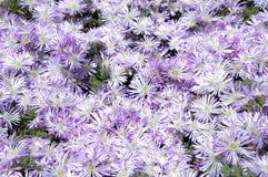 Κρεβάτι λουλουδιών των άσπρων και πορφυρών μαργαριτών στοκ φωτογραφίες με δικαίωμα ελεύθερης χρήσης