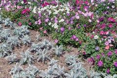 Κρεβάτι λουλουδιών των διακοσμητικών λουλουδιών και των εγκαταστάσεων που φυτεύονται στον κήπο στο έδαφος στοκ φωτογραφίες με δικαίωμα ελεύθερης χρήσης