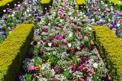 Κρεβάτι με τα λουλούδια άνοιξη μεταξύ των φρακτών πυξαριού στοκ φωτογραφίες