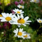 Κρεβάτι λουλουδιών με τη μύγα Στοκ εικόνα με δικαίωμα ελεύθερης χρήσης