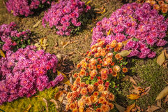 Κρεβάτι λουλουδιών με το χρυσάνθεμο θάμνων Στοκ φωτογραφίες με δικαίωμα ελεύθερης χρήσης