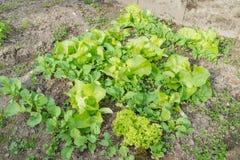 Κρεβάτι σαλάτας με τη διαφορετική σαλάτα και καλλιεργημένο ραδίκι σε έναν κήπο στοκ εικόνα