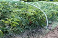 Κρεβάτι φραουλών που καλύπτεται με το προστατευτικό πλέγμα από τα πουλιά Στοκ εικόνα με δικαίωμα ελεύθερης χρήσης