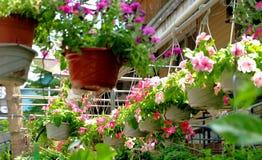 Κρεμασμένα σε δοχείο λουλούδια που ωραιοποιούν το περιβάλλον στοκ εικόνες με δικαίωμα ελεύθερης χρήσης