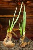 Κρεμμύδια άνοιξη στο χώμα στοκ φωτογραφία