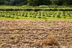 Κρεμμύδια που αυξάνονται στο αγρόκτημα Parkside Στοκ Φωτογραφία