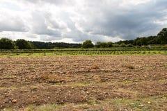 Κρεμμύδια στο αγρόκτημα Parkside Στοκ Εικόνα