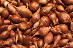 κρεμμύδι αποβάσεων Στοκ φωτογραφία με δικαίωμα ελεύθερης χρήσης