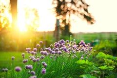 κρεμμύδι κήπων Στοκ Εικόνες