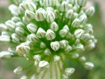 κρεμμύδι λουλουδιών μπ&omicro Στοκ Φωτογραφίες