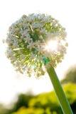 κρεμμύδι λουλουδιών Στοκ εικόνες με δικαίωμα ελεύθερης χρήσης