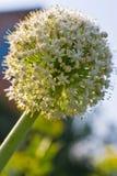 κρεμμύδι λουλουδιών Στοκ φωτογραφία με δικαίωμα ελεύθερης χρήσης