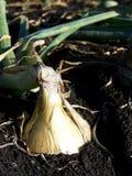 κρεμμύδι ρύπου Στοκ Φωτογραφίες