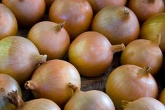 κρεμμύδι συγκομιδών Στοκ φωτογραφία με δικαίωμα ελεύθερης χρήσης
