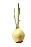 κρεμμύδι φύλλων Στοκ Φωτογραφία