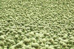 κρεμμύδι s πεδίων Στοκ Φωτογραφία
