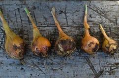 Κρεμμύδια που μαδιούνται από το χώμα Στοκ Εικόνες