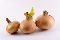 κρεμμύδια τρία Στοκ Φωτογραφία