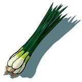 Κρεμμύδι άνοιξη, Scallion ελεύθερη απεικόνιση δικαιώματος