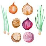 Κρεμμύδι Watercolor, κόκκινο και πράσινος Στοκ εικόνες με δικαίωμα ελεύθερης χρήσης