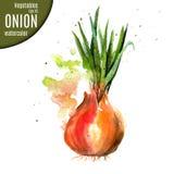 Κρεμμύδι watercolor απεικόνιση αποθεμάτων
