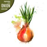 Κρεμμύδι watercolor ελεύθερη απεικόνιση δικαιώματος