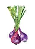 Κρεμμύδι Watercolor Στοκ Εικόνα
