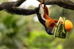 Κρεμώντας άνω πλευρά σκιούρων Prevost - κάτω, τρώγοντας το καρπούζι στοκ εικόνες με δικαίωμα ελεύθερης χρήσης