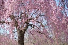 Κρεμώντας δέντρο ανθών κερασιών στην πλήρη άνθιση Στοκ Φωτογραφίες