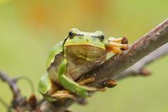 κρεμώντας δέντρο βατράχων Στοκ φωτογραφία με δικαίωμα ελεύθερης χρήσης