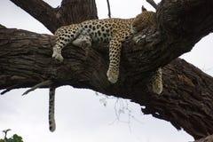 Κρεμώντας λεοπάρδαλη Στοκ Εικόνες