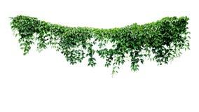 Κρεμώντας θάμνος ζουγκλών φυλλώματος κισσών αμπέλων, διαμορφωμένα καρδιά πράσινα φύλλα που αναρριχούνται στο σκηνικό φύσης φυτών  στοκ φωτογραφίες