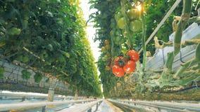 Κρεμώντας κλάδος των κόκκινων και πράσινων ντοματών που αυξάνονται σε ένα θερμοκήπιο φιλμ μικρού μήκους