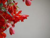 Κρεμώντας κόκκινο λουλούδι Στοκ εικόνα με δικαίωμα ελεύθερης χρήσης