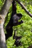 κρεμώντας πίθηκος Στοκ φωτογραφία με δικαίωμα ελεύθερης χρήσης