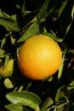 κρεμώντας πορτοκαλί δέντρ& Στοκ εικόνα με δικαίωμα ελεύθερης χρήσης