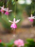Κρεμώντας ρόδινο φούξια λουλούδι Στοκ εικόνες με δικαίωμα ελεύθερης χρήσης