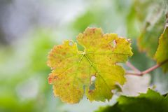 Κρεμώντας φύλλα σταφυλιών κρασιού σε πράσινο που θολώνονται Στοκ φωτογραφία με δικαίωμα ελεύθερης χρήσης