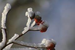 Κρησφύγετο κλάδων μούρων στο χιόνι στοκ φωτογραφία