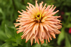κρητιδογραφία Zinnia λουλο&up Στοκ φωτογραφία με δικαίωμα ελεύθερης χρήσης