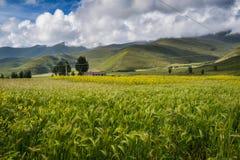 Κριθάρι ορεινών περιοχών, άνθη βιασμών και θιβετιανό χωριό στοκ φωτογραφίες με δικαίωμα ελεύθερης χρήσης