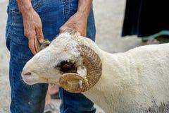 Κριοί στο φεστιβάλ θυσίας αγοράς ζωικού κεφαλαίου eid στοκ εικόνα