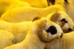 Κριοί στο φεστιβάλ θυσίας αγοράς ζωικού κεφαλαίου eid στοκ εικόνες