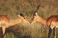 κριοί impala στοκ φωτογραφία με δικαίωμα ελεύθερης χρήσης