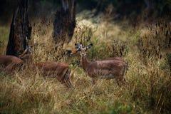 Κριοί Impala στοκ εικόνες